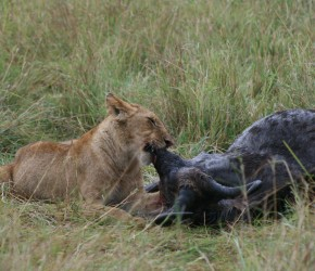 A young lion enjoys the salty nose of the wildebeest.